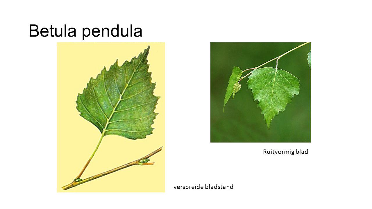 Betula pendula verspreide bladstand Ruitvormig blad
