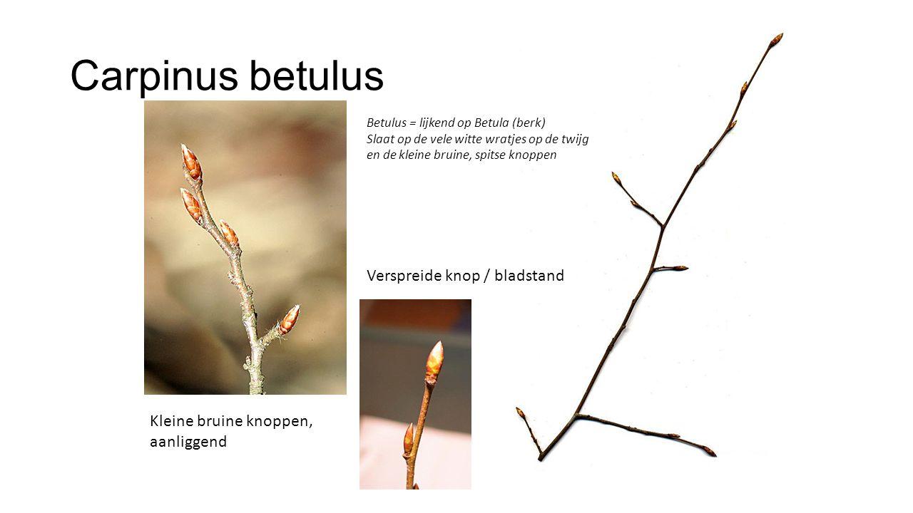 Carpinus betulus Verspreide knop / bladstand Kleine bruine knoppen, aanliggend Betulus = lijkend op Betula (berk) Slaat op de vele witte wratjes op de