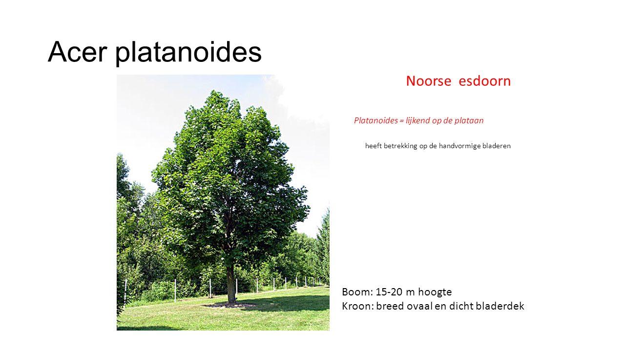 Acer platanoides Noorse esdoorn Platanoides = lijkend op de plataan heeft betrekking op de handvormige bladeren Boom: 15-20 m hoogte Kroon: breed ovaa