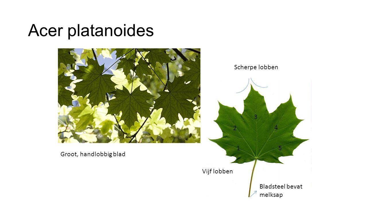 Acer platanoides Groot, handlobbig blad Scherpe lobben Vijf lobben 2 1 3 5 4 Bladsteel bevat melksap