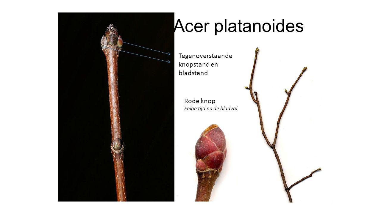 Acer platanoides Geelgroene bloemen, in opstaande tuilen, net voor de bladontwikkeling Grote zaden, met bijna rechtafstaande vleugels