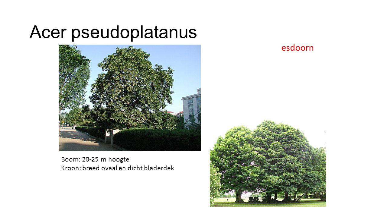 Acer pseudoplatanus Dof groen, vijflobbig blad, vaak met rode bladsteel Blad is dikker dan bij platanoides Lobpunten zijn meer afgerond (stomp)