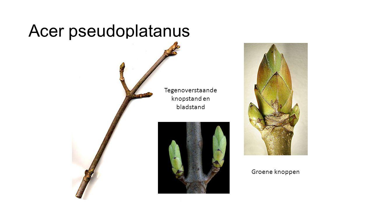 Acer pseudoplatanus Gele bloemtrossen (hangend), net na de bladontwikkeling Zaden in trossen.