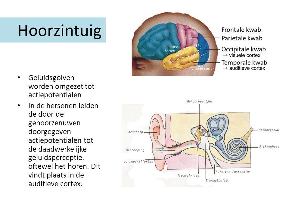 Hoorzintuig Geluidsgolven worden omgezet tot actiepotentialen In de hersenen leiden de door de gehoorzenuwen doorgegeven actiepotentialen tot de daadw