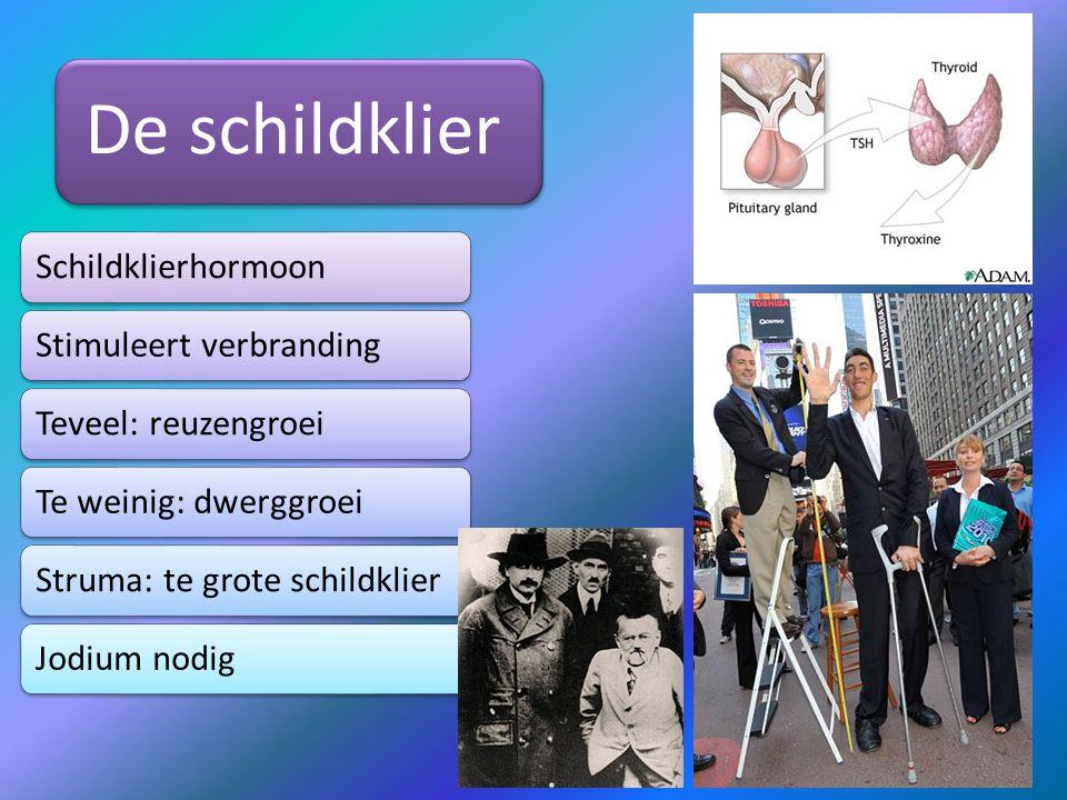 De schildklier SchildklierhormoonStimuleert verbrandingTeveel: reuzengroeiTe weinig: dwerggroeiStruma: te grote schildklierJodium nodig