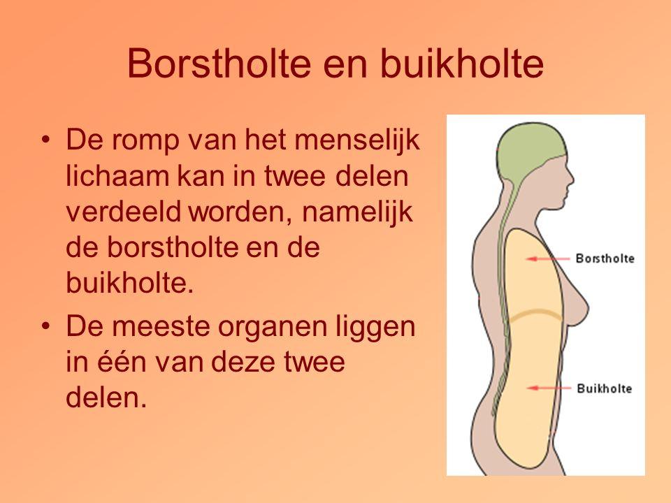 Borstholte en buikholte De romp van het menselijk lichaam kan in twee delen verdeeld worden, namelijk de borstholte en de buikholte. De meeste organen