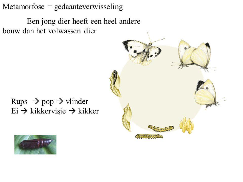 Metamorfose = gedaanteverwisseling Een jong dier heeft een heel andere bouw dan het volwassen dier Rups  pop  vlinder Ei  kikkervisje  kikker