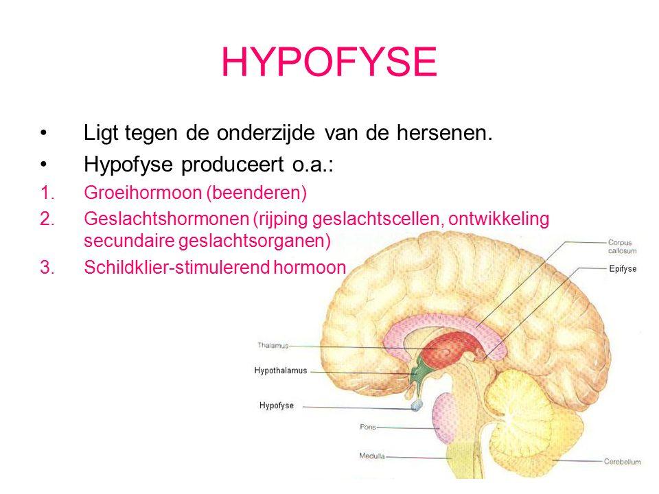 HYPOFYSE Ligt tegen de onderzijde van de hersenen.