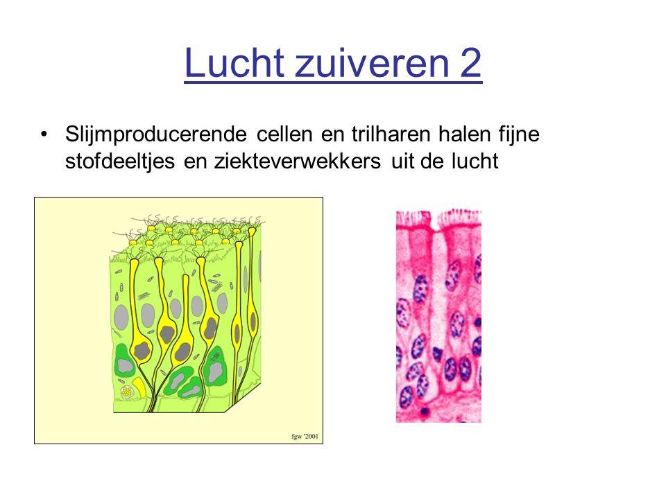 Lucht zuiveren 2 Slijmproducerende cellen en trilharen halen fijne stofdeeltjes en ziekteverwekkers uit de lucht