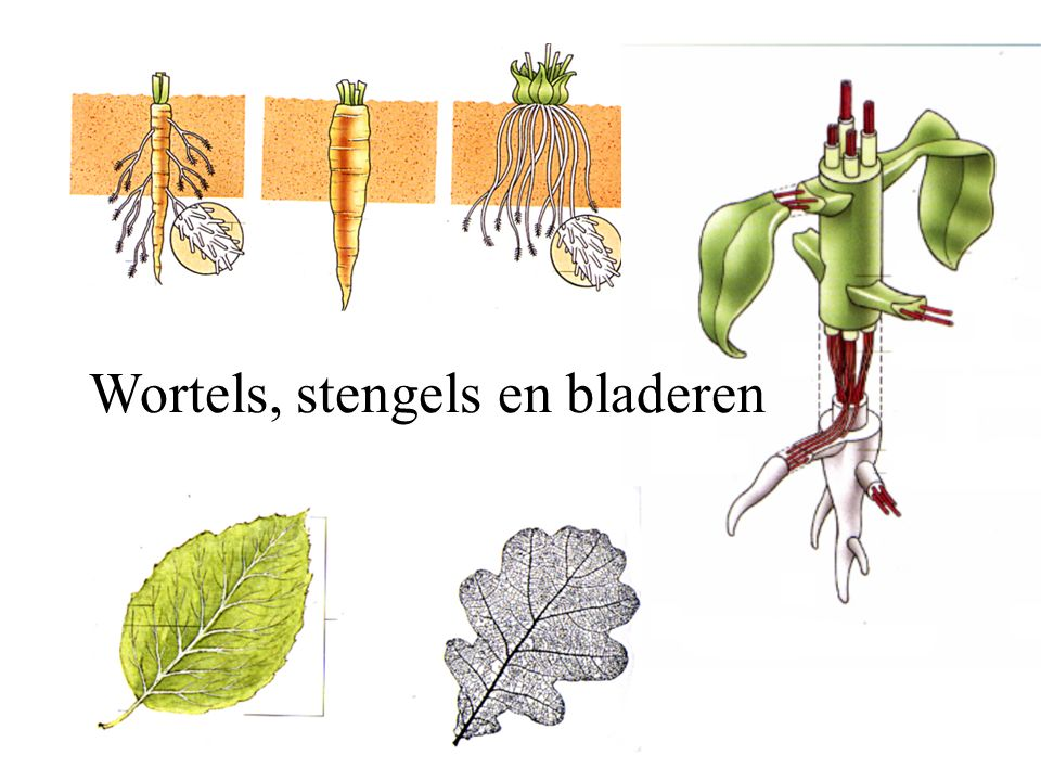 Wortels, stengels en bladeren