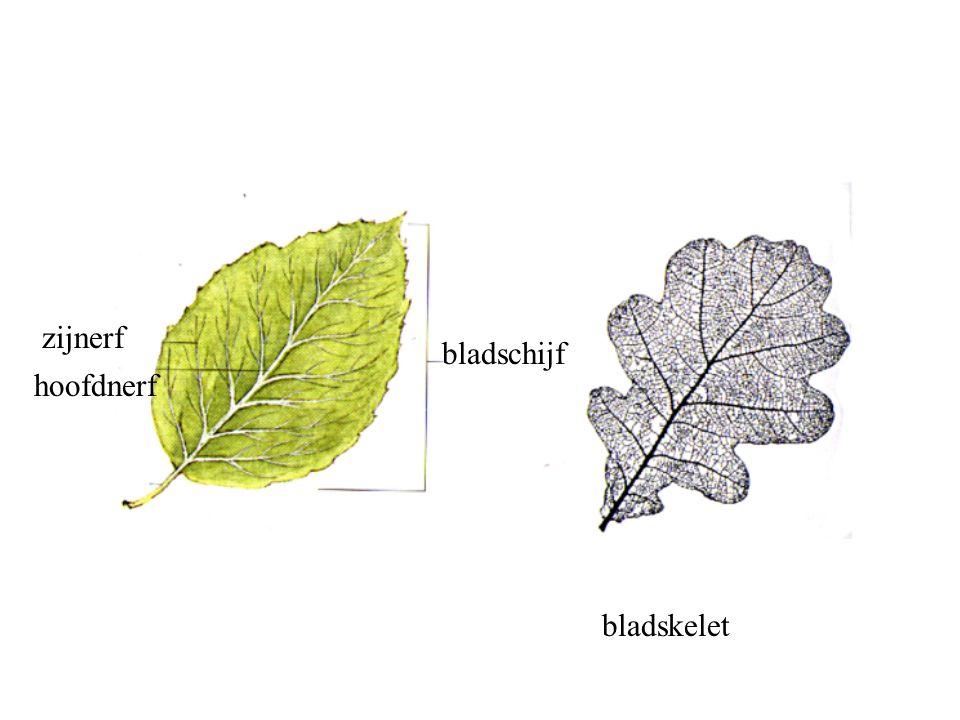 zijnerf hoofdnerf bladschijf bladskelet