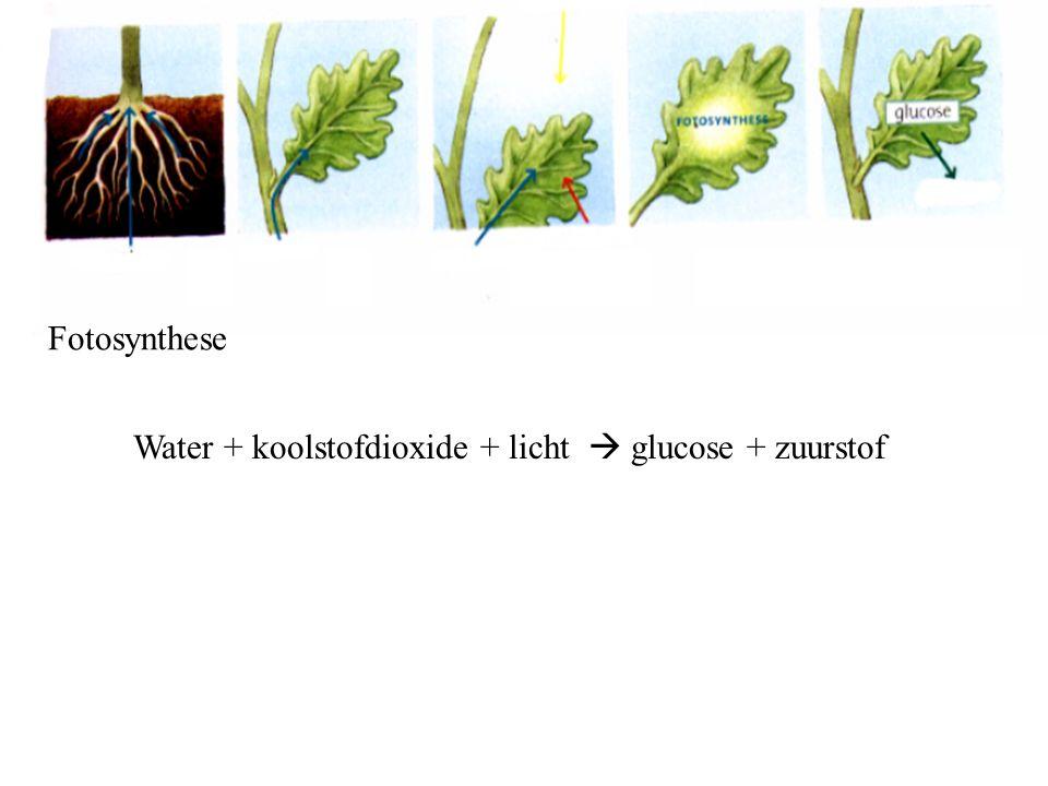Water + koolstofdioxide + licht  glucose + zuurstof Fotosynthese