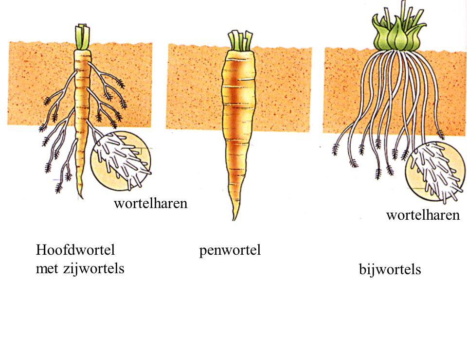 Hoofdwortel met zijwortels penwortel bijwortels wortelharen
