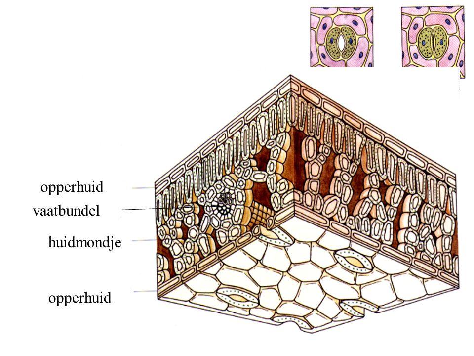 opperhuid vaatbundel huidmondje opperhuid