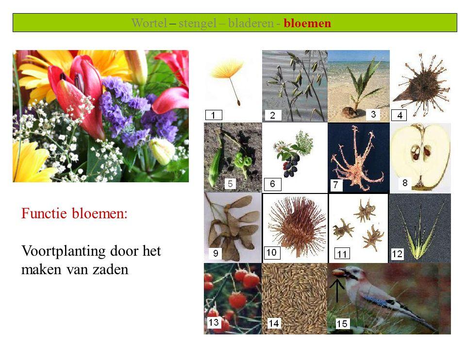 Wortel – stengel – bladeren - bloemen Functie bloemen: Voortplanting door het maken van zaden