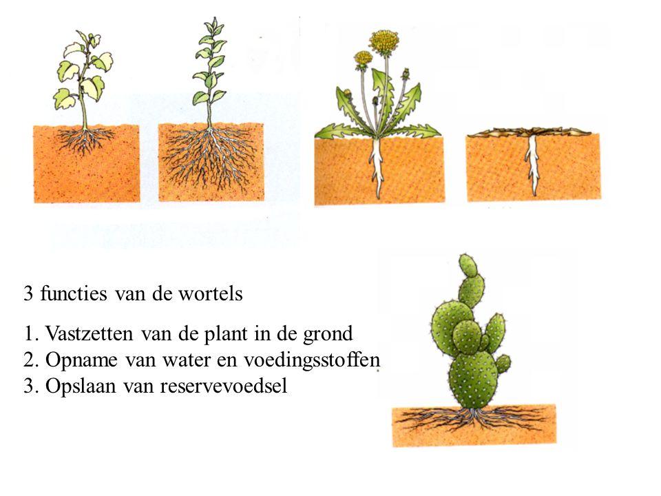 3 functies van de wortels 1.Vastzetten van de plant in de grond 2.