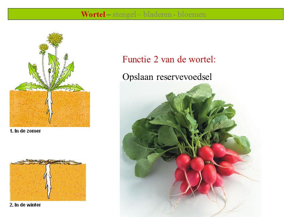 Wortel – stengel – bladeren - bloemen Functie 2 van de wortel: Opslaan reservevoedsel