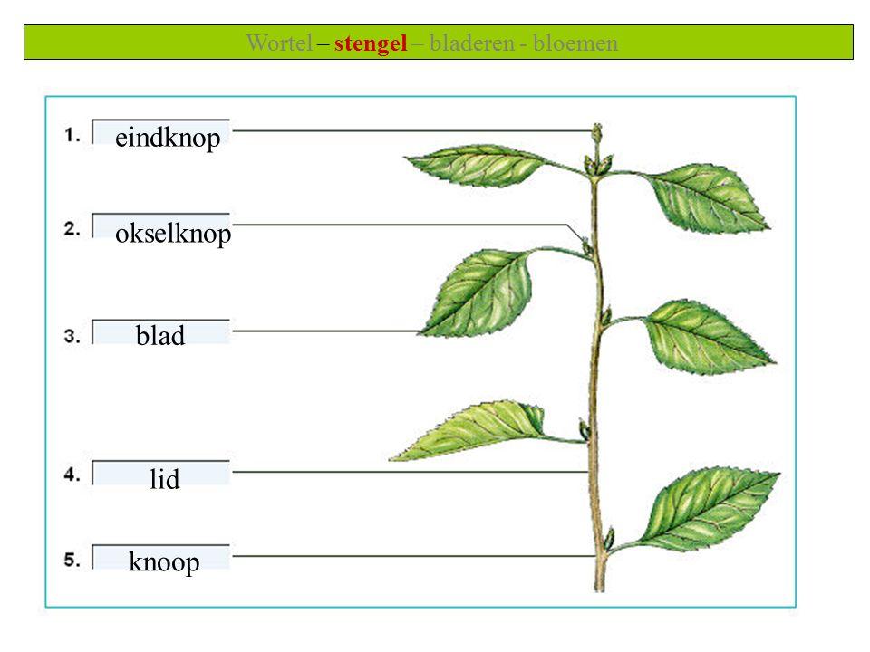 Wortel – stengel – bladeren - bloemen eindknop okselknop blad lid knoop
