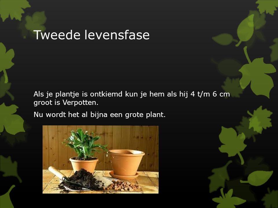 Tweede levensfase Als je plantje is ontkiemd kun je hem als hij 4 t/m 6 cm groot is Verpotten.