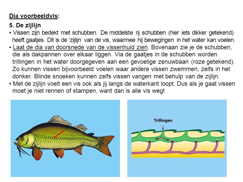 Dia voorbeeldvis: 5. De zijlijn Vissen zijn bedekt met schubben. De middelste rij schubben (hier iets dikker getekend) heeft gaatjes. Dit is de 'zijli