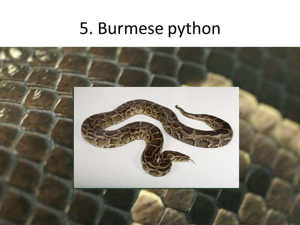 5. Burmese python