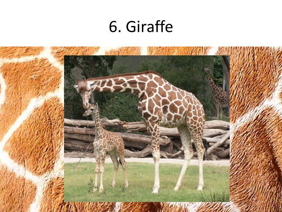 6. Giraffe