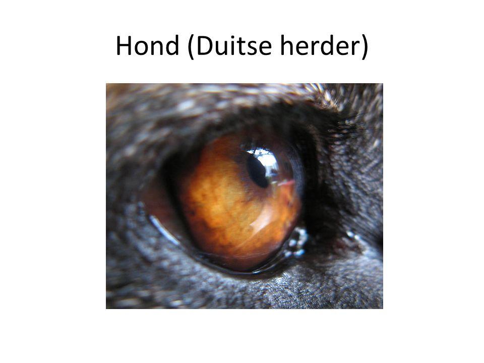 Hond (Duitse herder)