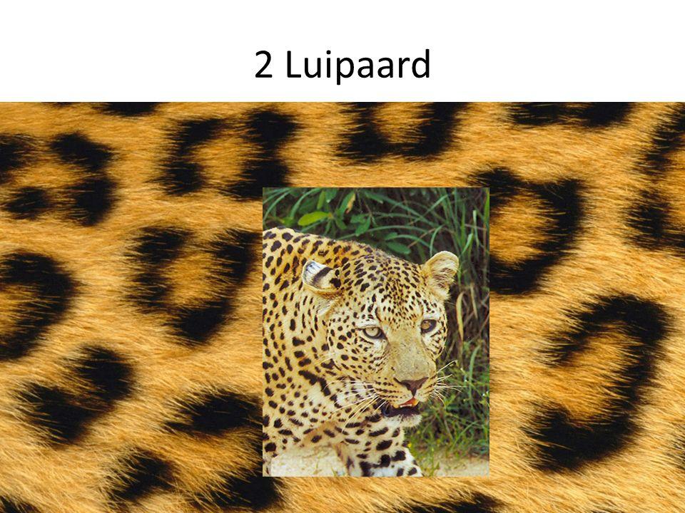 2 Luipaard