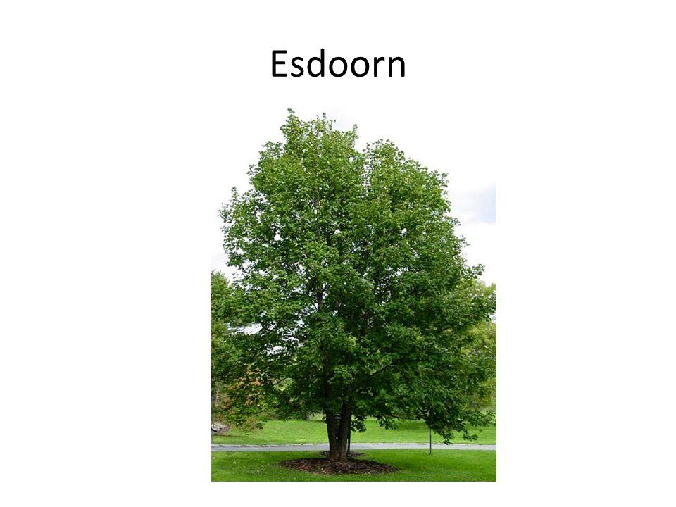 Esdoorn