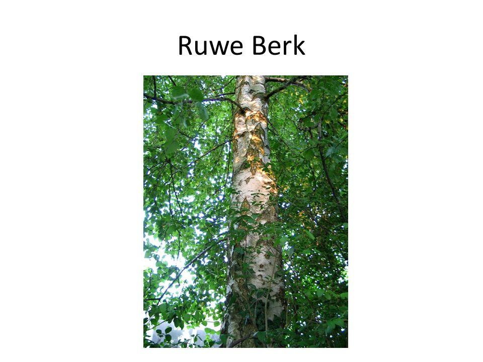 Ruwe Berk