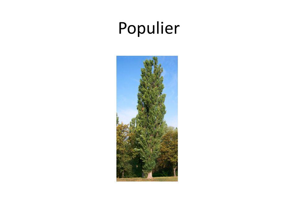 Populier