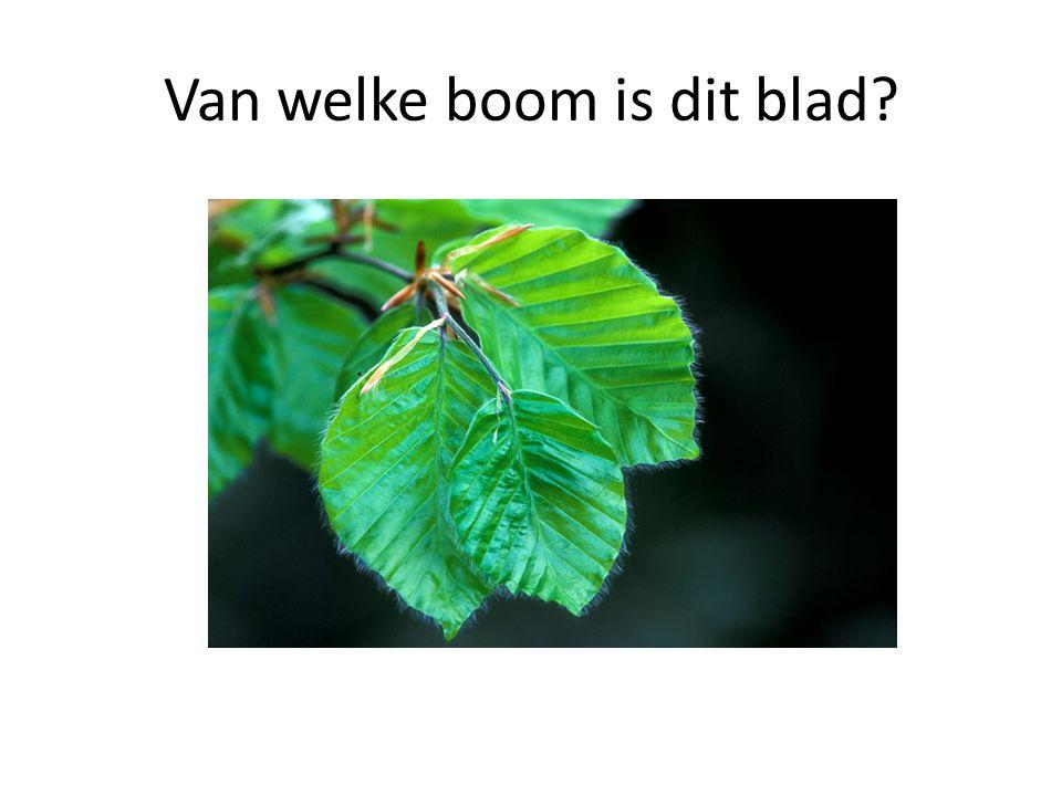 Van welke boom is dit blad