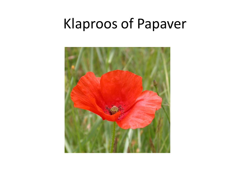 Klaproos of Papaver