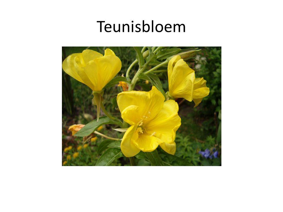 Teunisbloem