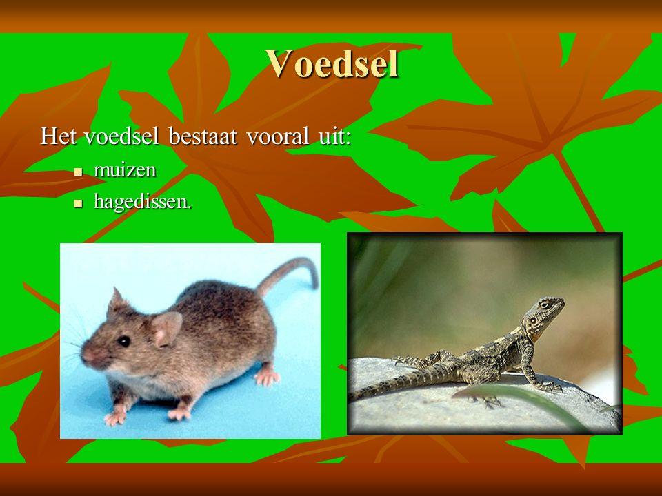 Voedsel Het voedsel bestaat vooral uit: muizen muizen hagedissen. hagedissen.