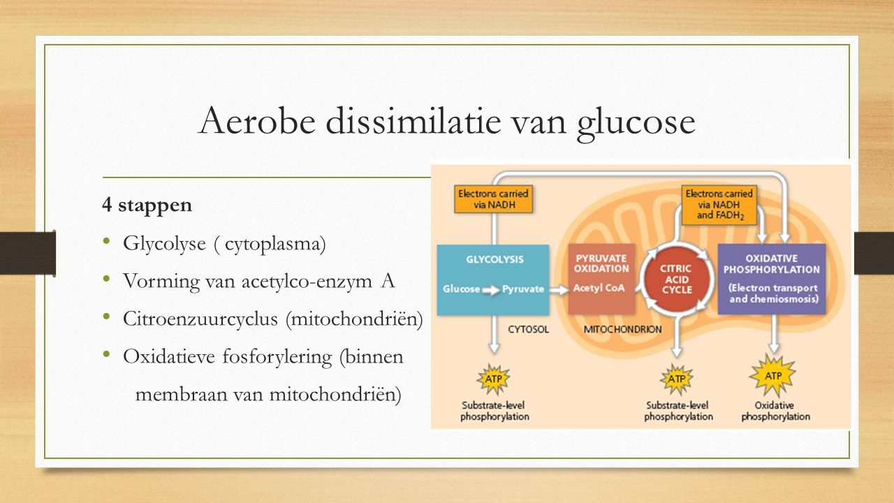 Aerobe dissimilatie van glucose 4 stappen Glycolyse ( cytoplasma) Vorming van acetylco-enzym A Citroenzuurcyclus (mitochondriën) Oxidatieve fosforyler