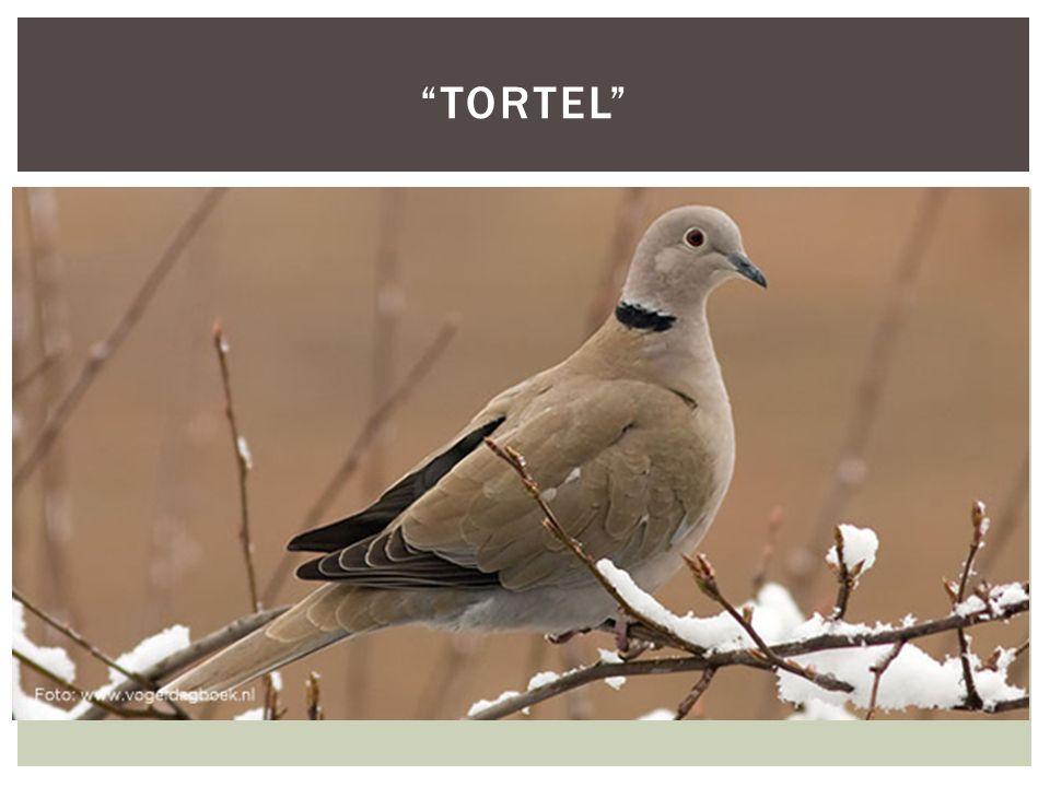 """ HOOFDFOTO """"TORTEL"""""""