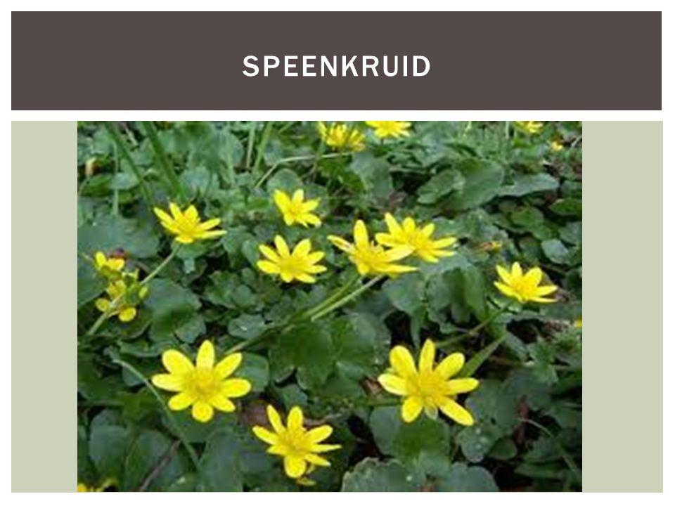Soortgroepplanten Hoofd-biotoopBossen Uiterlijke kenmerkenHet blad is hartvormig Broedknolletjes in de bladoksels 8 – 12 glanzende bloemdekbladeren Kleur geel Hoogte is 5 – 20 cm Extra foto's KENMERKEN SPEENKRUID