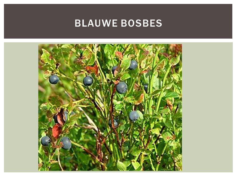 BLAUWE BOSBES