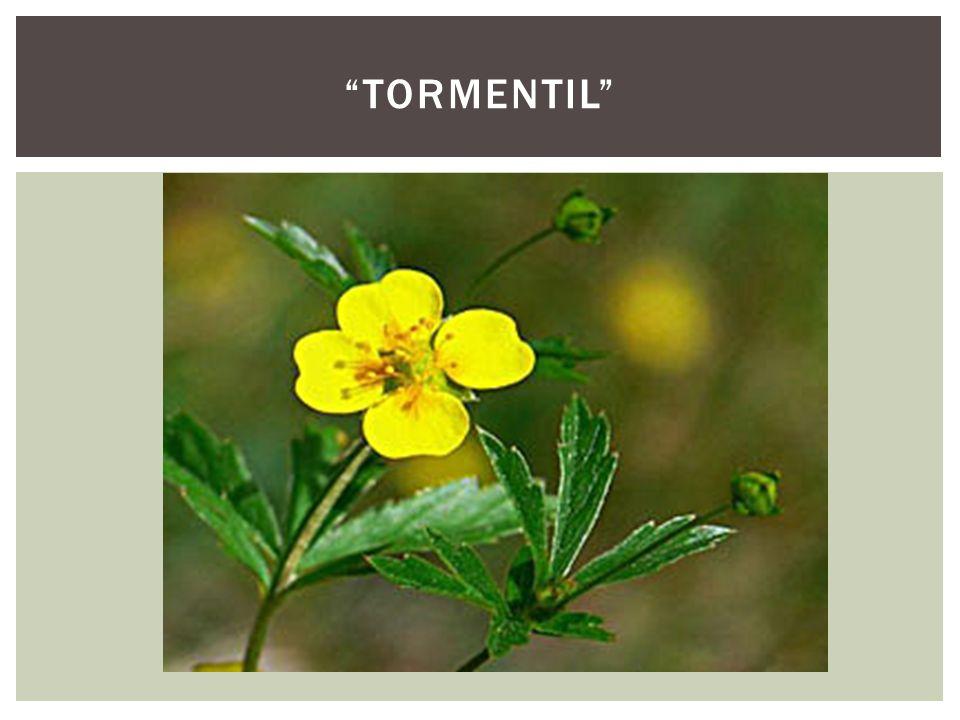 """""""TORMENTIL"""""""