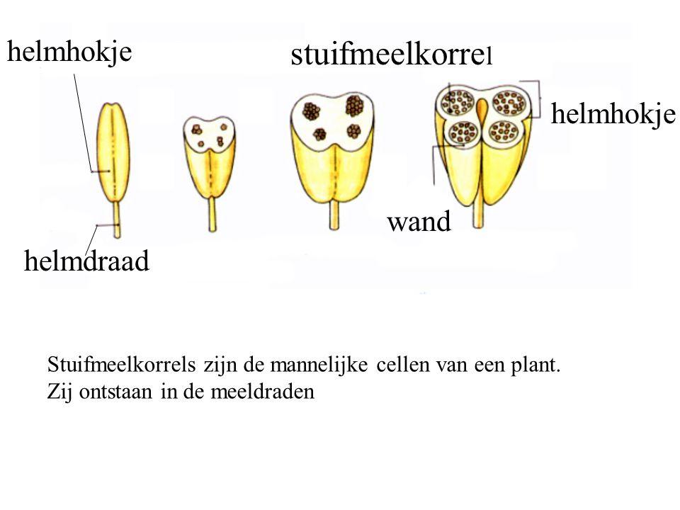 helmhokje stuifmeelkorre l wand helmdraad helmhokje Stuifmeelkorrels zijn de mannelijke cellen van een plant. Zij ontstaan in de meeldraden