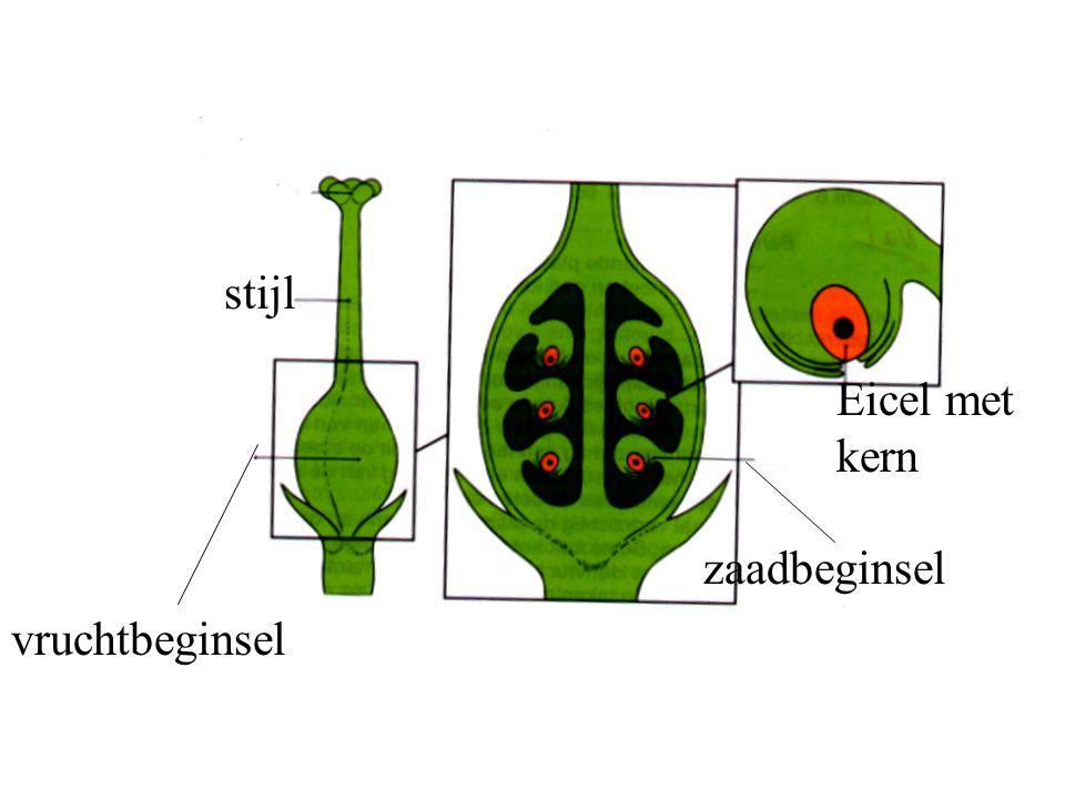 Ongeslachtelijke voortplanting bollen stekken uitloperwortelstok knollen deling