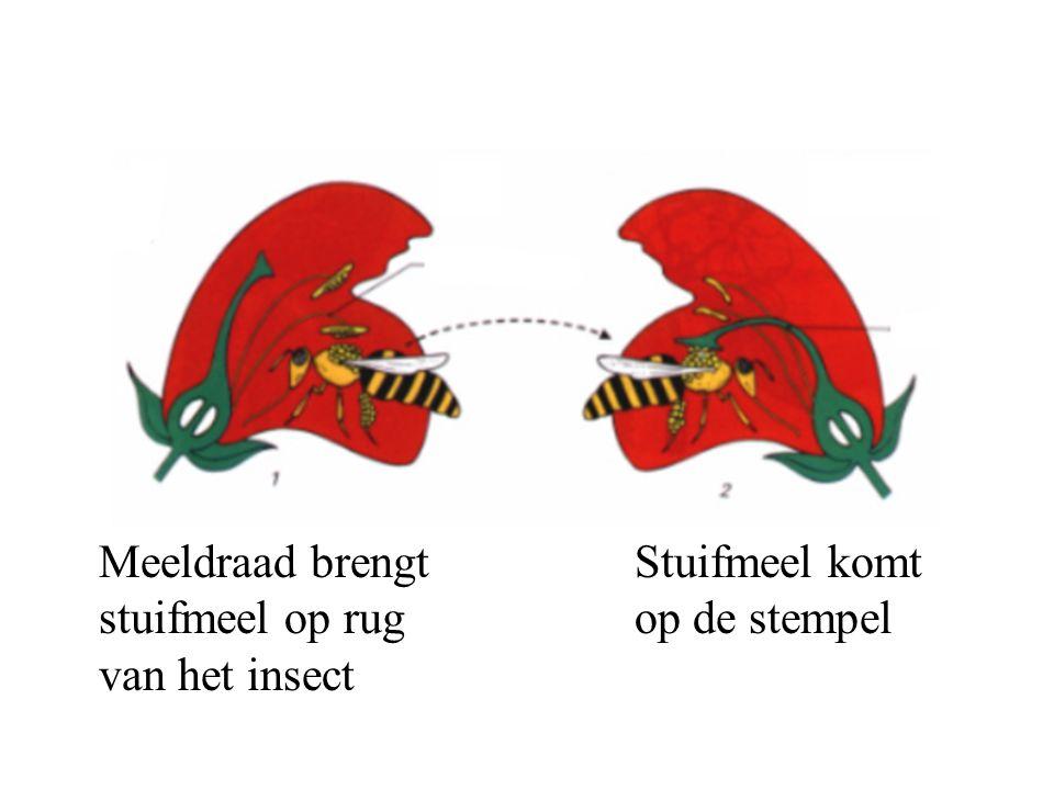 Meeldraad brengt stuifmeel op rug van het insect Stuifmeel komt op de stempel