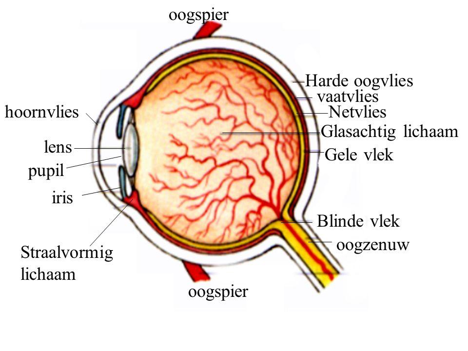 hoornvlies lens pupil iris Straalvormig lichaam Harde oogvlies vaatvlies Netvlies Gele vlek Glasachtig lichaam Blinde vlek oogzenuw oogspier