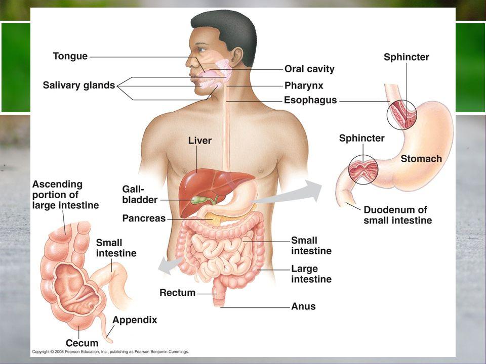 15.2 Directe opname in bloed zonder vertering Monosacchariden Water Zouten Vitaminen