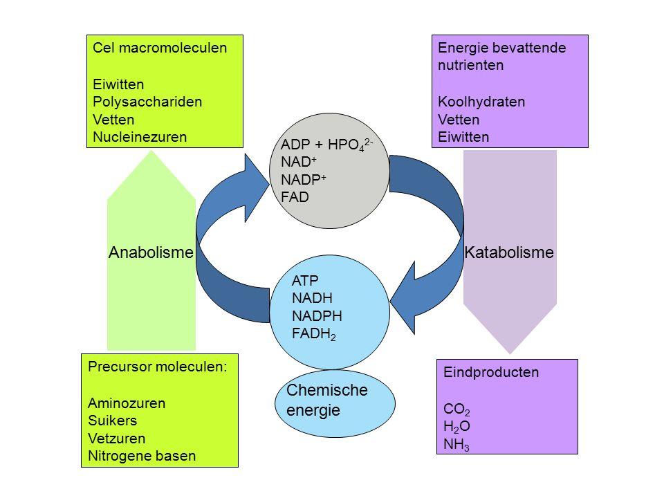 Cel macromoleculen Eiwitten Polysacchariden Vetten Nucleinezuren Precursor moleculen: Aminozuren Suikers Vetzuren Nitrogene basen Energie bevattende nutrienten Koolhydraten Vetten Eiwitten Eindproducten CO 2 H 2 O NH 3 ADP + HPO 4 2- NAD + NADP + FAD ATP NADH NADPH FADH 2 Chemische energie AnabolismeKatabolisme
