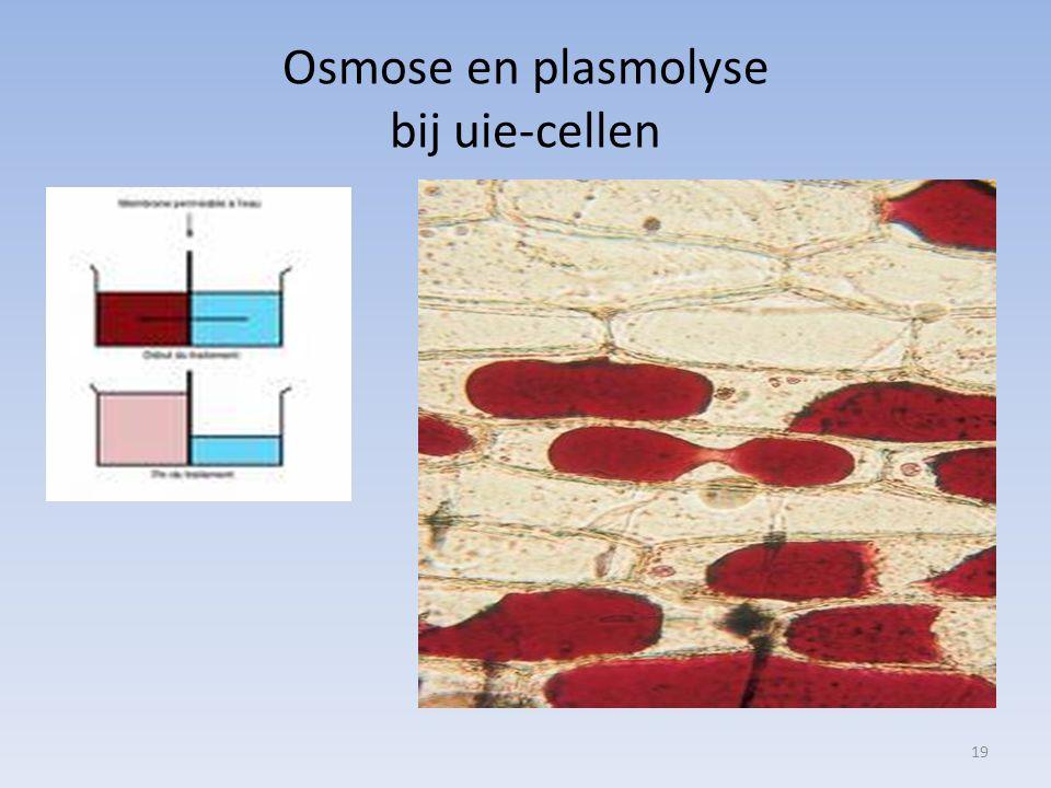 Osmose en plasmolyse bij uie-cellen 19