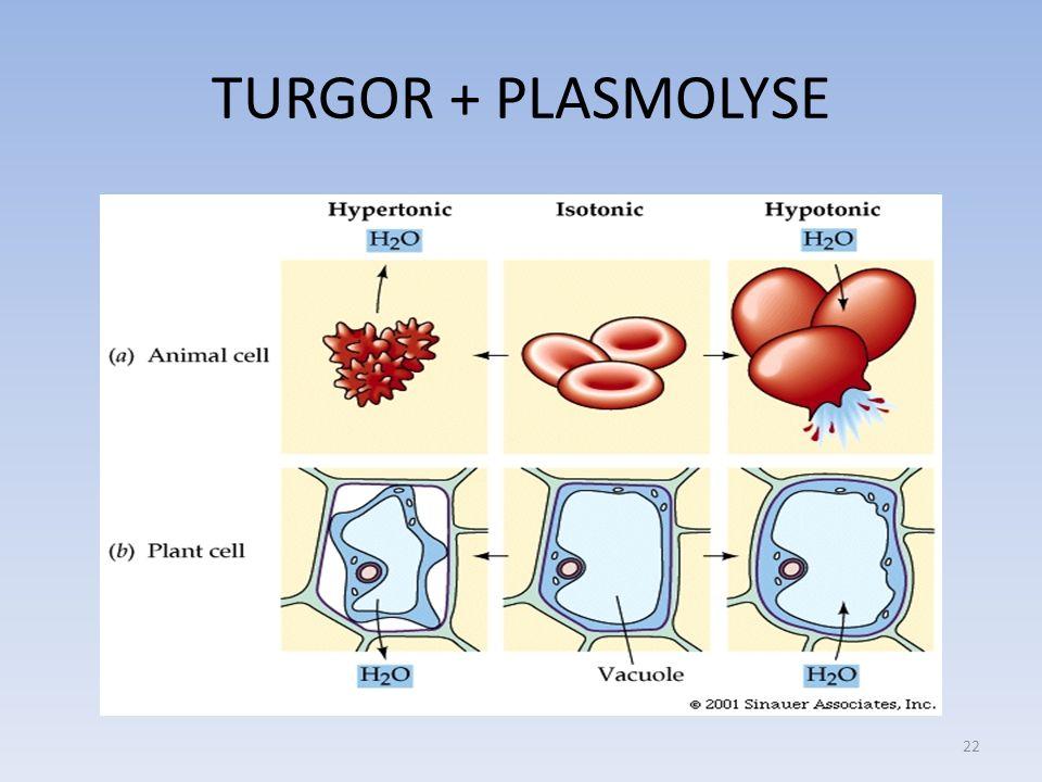 TURGOR + PLASMOLYSE 22