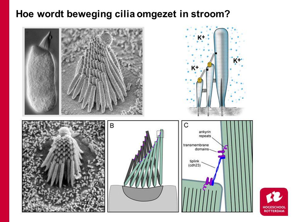 Hoe wordt beweging cilia omgezet in stroom