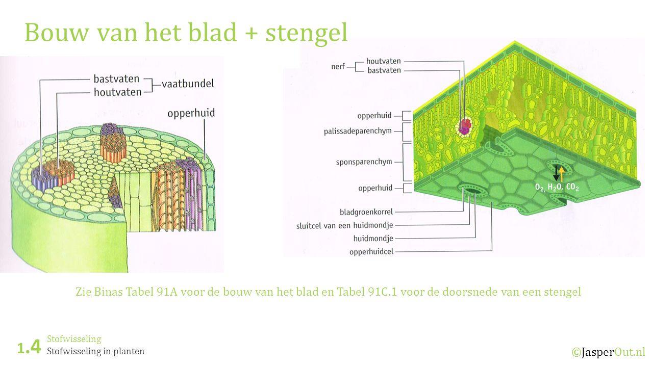 Stofwisseling 1.4 ©JasperOut.nl Stofwisseling in planten Bouw van het blad + stengel Zie Binas Tabel 91A voor de bouw van het blad en Tabel 91C.1 voor de doorsnede van een stengel